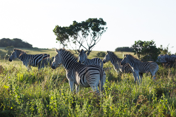 Zebras at sunset on Vernon Crooks Game reserve, South Africa
